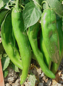 Nu Mex Big Jim Seeds-750 -1000 on the Scoville INCL Ship