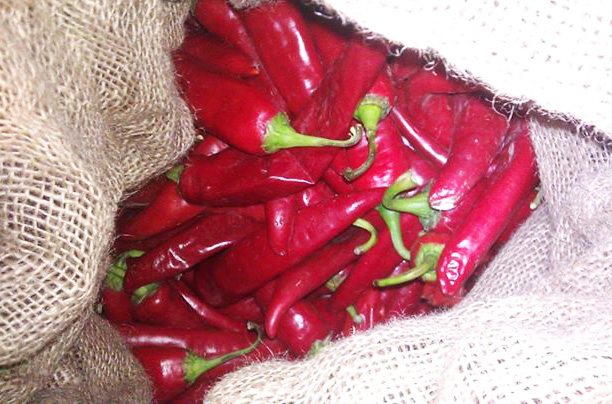 25lbs Fresh Harvest Hatch New Mexico Red Chile